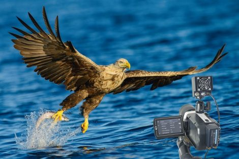 Sea_Eagle_in_the_wild._Grabbing_a_fish_from_the_ocean.